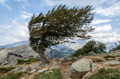 Tree on Corsica Island Royalty Free Stock Images