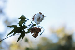 Tree cotton, Gossypium barbadense, in bloom Royalty Free Stock Photos