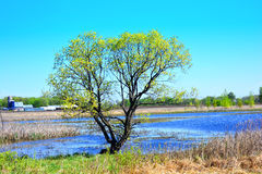 Tree in the country barn and pond in background. Spring in the country, yellow green leaves on tree, blue water, cattails, silo, and barn in background Royalty Free Stock Photos