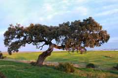 Tree in the countryside Royalty Free Stock Image