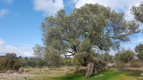 Tree in the Countyside. A tree in the countryside of Crete Royalty Free Stock Photography