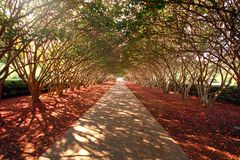 Tree-covered driveway. Long driveway covered by crape myrtle branches. Genus:  Lagerstroemia Royalty Free Stock Photos