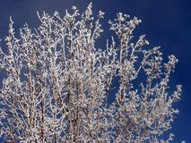 Frost covered tree. Tree covered in frost on a foggy winter day royalty free stock photo