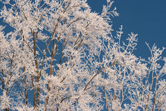 The tree covered with hoarfrost. Hoarfrost on tree in frosty sunny day in the winter Royalty Free Stock Image