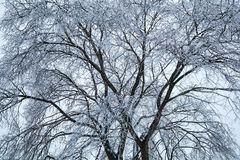 Tree, covered with ice and frost. Winter natural background Royalty Free Stock Photos