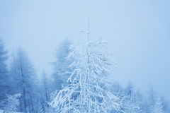 Tree covered by ice in winter mountains Royalty Free Stock Photos