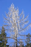 Tree covered by icicles. Birch branches covered by icicles Royalty Free Stock Photo