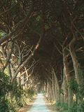 Tree covered lane. Branches of closely planted trees completely cover this narrow lane or path in Tuscany, Italy Stock Photography