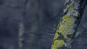 Tree covered with lichen. Close-up of the trunk of a tree covered with lichen stock video footage