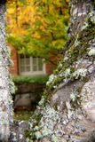 Lichen in Autumn. Tree covered in lichen and moss against a blurred autumn background Stock Images