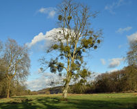 A tree covered in mistletoe. On a sunny winters day Royalty Free Stock Photo