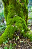 The tree is covered with MOSS stock photography