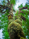 Tree covered with moss closeup Royalty Free Stock Image