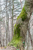 Tree covered in moss Stock Images
