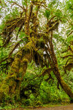 Tree covered with moss Royalty Free Stock Images