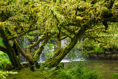 Tree covered in moss with waterfall in the background Stock Images