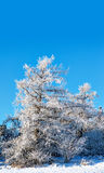 Tree covered in rime frost Royalty Free Stock Photo