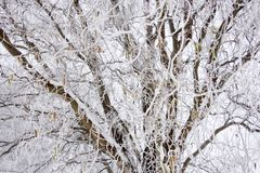 Tree covered with ripe royalty free stock photo