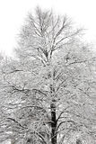 Tree covered in snow Royalty Free Stock Images