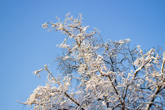 Tree covered with snow against the blue sky Royalty Free Stock Photos
