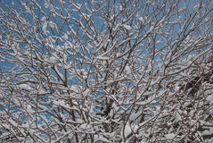 Tree covered by snow. This is how looks like a tree after a snowfall in the alps. Is beautiful is it not Royalty Free Stock Images