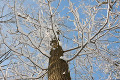 Tree covered with snow, looking towards the sky Royalty Free Stock Images
