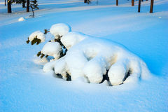 Tree covered with snow ,shaped in  form similar to the beast. Royalty Free Stock Images