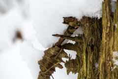 Tree covered in snow. The wood of a tree covered in snow during winter Royalty Free Stock Photography