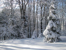Tree Covered by Snow by the Woods Stock Photography