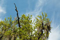 Tree Covered in Spanish Moss Stock Images