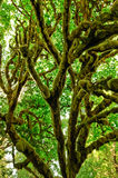 Tree covered in thick moss Royalty Free Stock Image