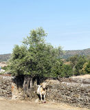 Tree with cow Royalty Free Stock Photography