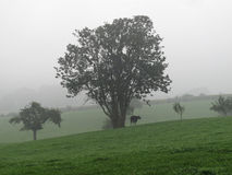 Tree and cow in sloped grassland landscape. Grassland, tree and cow with mist in background Stock Image