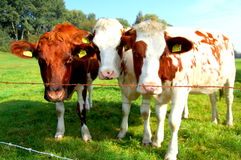 Tree cows behind the fence Stock Photos