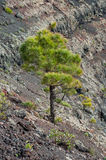 Tree in crater San Antonio Volcano, La Palma, Canary Islands Royalty Free Stock Photo