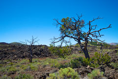 Tree in Craters of the Moon. Spindly tree stands above the lava in Craters of the Moon National Monument in central Idaho stock images