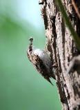 A tree creeper. Royalty Free Stock Photo