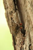 Tree creeper. A tree creeper at its nest while chicks screem for food Stock Images