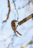 Tree Creeper bird Stock Photography