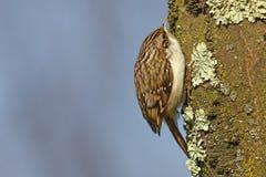 Tree creeper, Certhia Familiaris Stock Photography