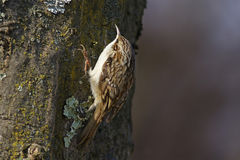 Tree creeper, Certhia Familiaris Stock Photo