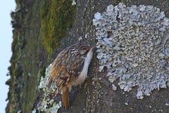 Tree creeper, Certhia Familiaris Stock Images