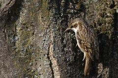 Tree creeper, Certhia Familiaris Royalty Free Stock Photo