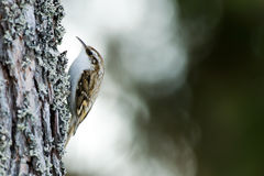 Tree-creeper (Certhia familiaris) Stock Photography