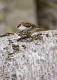 Tree Creeper Stock Images