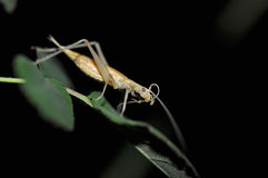 Tree cricket Oecanthus pellucens royalty free stock photo