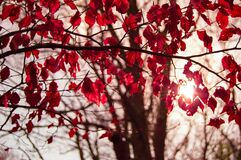 Tree with crimson autumn leaves