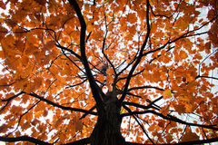 Tree. Crohn tree with orange leaves Royalty Free Stock Image