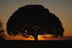 Tree crone on a sunset. The sun coming for horizon. A tree crone on a decline Stock Images