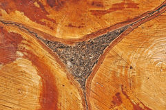 Tree cross-section Royalty Free Stock Images